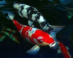 ikan hias koi