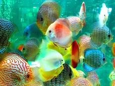 Memilih Ikan Hias untuk Satu Aquarium 1