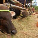 Foodbank Of Indonesia Menyelenggarakan Qurban Hingga Pelosok